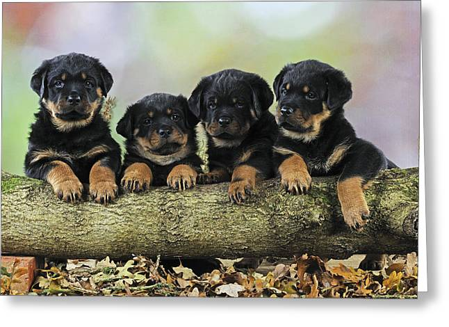 Rottweiler Puppies Greeting Card
