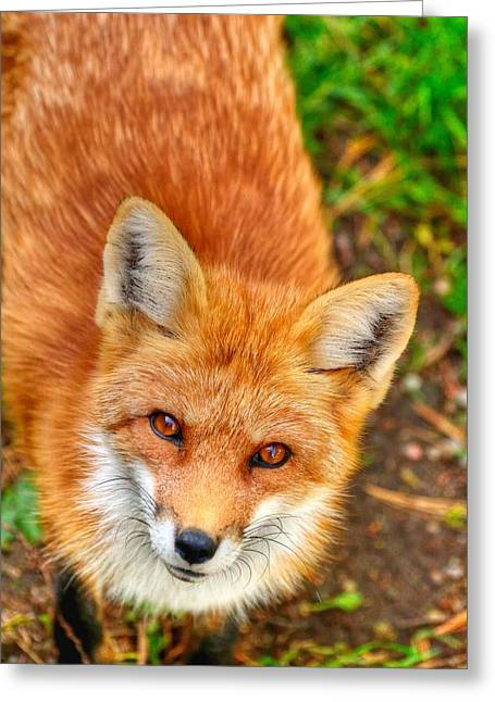 Rouge Renard Greeting Card by Joshua McCullough