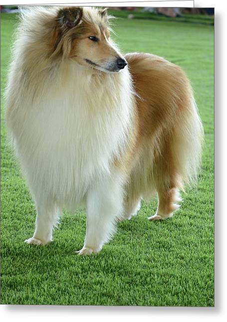 Rough Collie Greeting Card by Photostock-israel