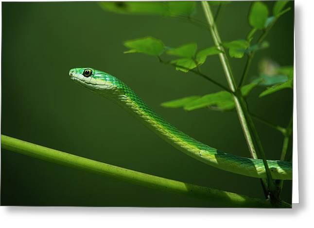 Rough Green Snake (opheodrys Aestivus Greeting Card