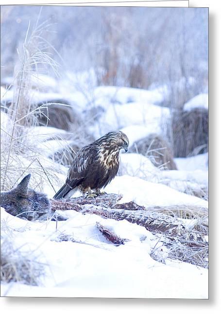 Rough Legged Hawk On Deer Carcass Greeting Card