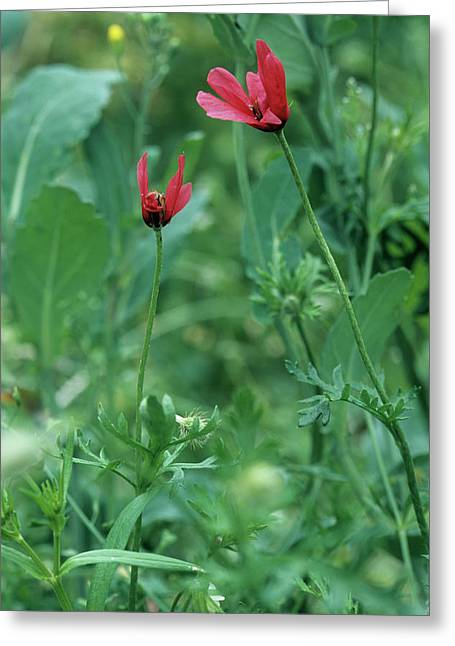 Rough Poppies (papaver Hybridum) Greeting Card by Bob Gibbons/science Photo Library