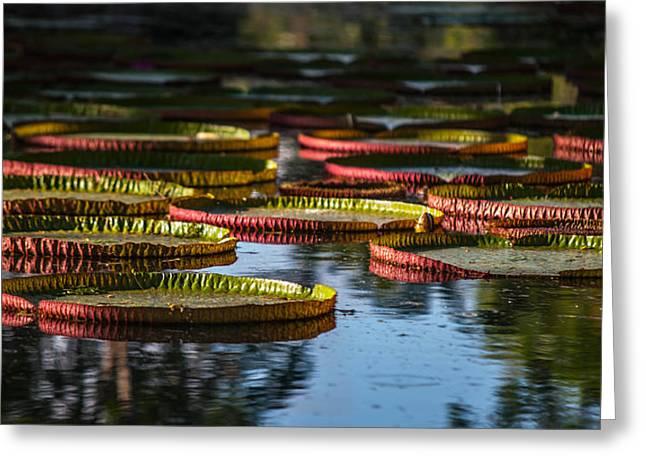 Round Leaves Of Victoria Regia. Royal Botanical Garden. Mauritius Greeting Card