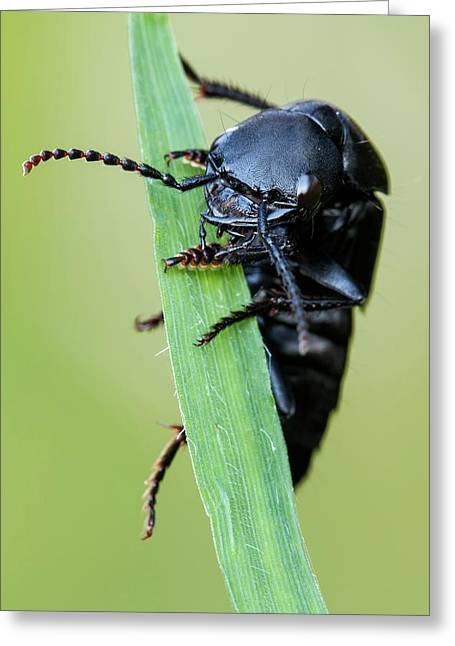 Rove Beetle Greeting Card