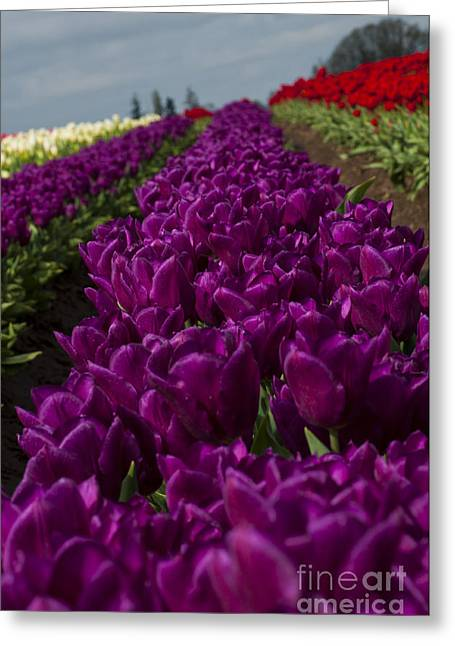 Row Of Purple Tulips Greeting Card by Mandy Judson