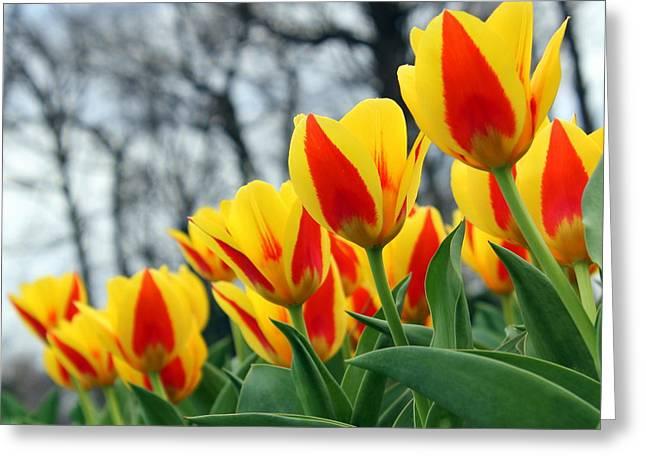 Row Of Tulips Greeting Card