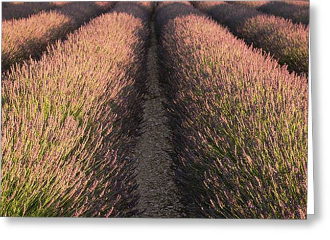 Rows Lavender Field, Pays De Sault Greeting Card
