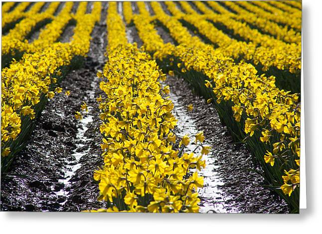 Rows Of Daffodils Greeting Card