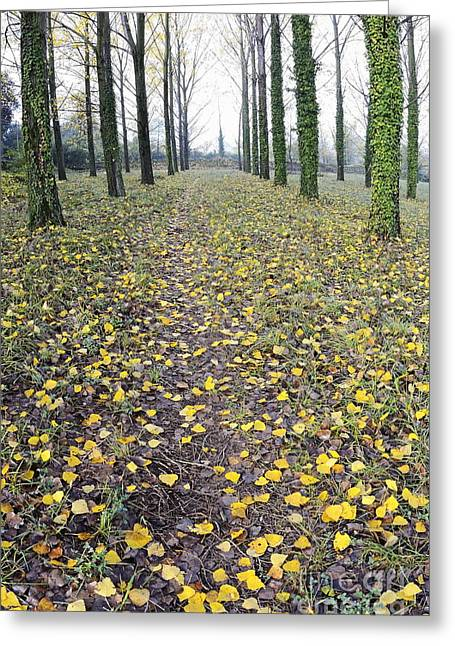 Rows Of Trees With Yellow Leaves And Ivy At Fall Greeting Card by Sami Sarkis