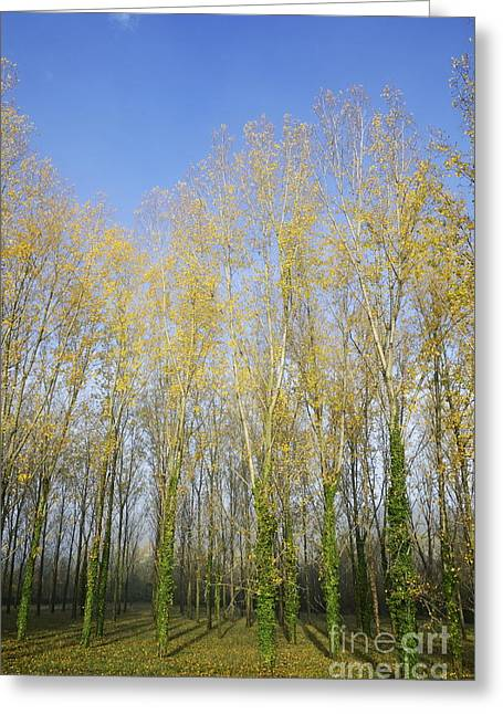 Rows Of Trees With Yellow Leaves Greeting Card by Sami Sarkis
