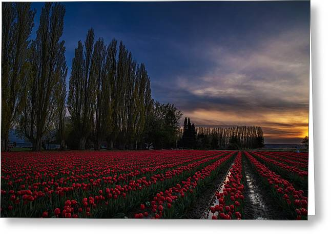 Rows Of Tulips And Tall Trees Greeting Card by Mike Reid