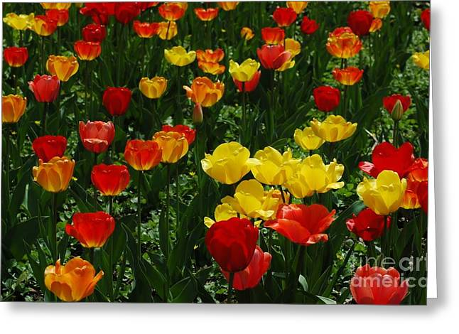 Rows Of Tulips Greeting Card by Kathleen Struckle