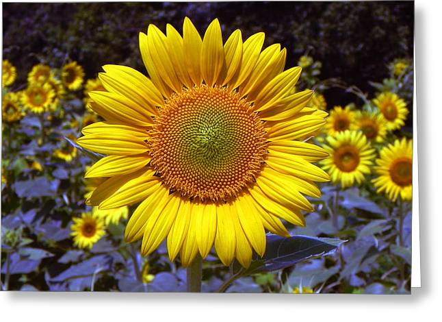 Greeting Card featuring the photograph Roxanna Sunflower by Bill Swartwout