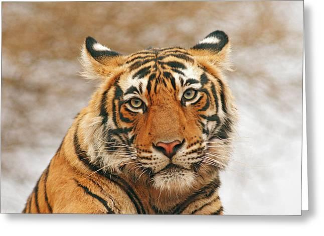 Royal Bengal Tiger - A Portrait Greeting Card by Jagdeep Rajput