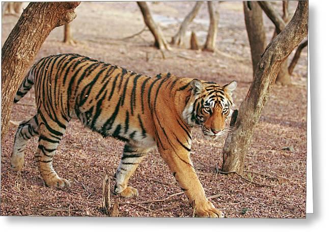 Royal Bengal Tiger Coming Greeting Card by Jagdeep Rajput