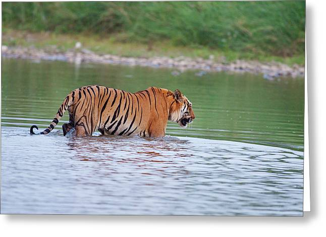 Royal Bengal Tiger, Crossing The River Greeting Card