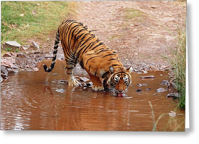 Royal Bengal Tiger Drinking Water Greeting Card by Jagdeep Rajput