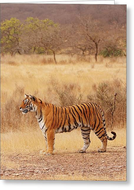 Royal Bengal Tiger In The Dry Greeting Card by Jagdeep Rajput