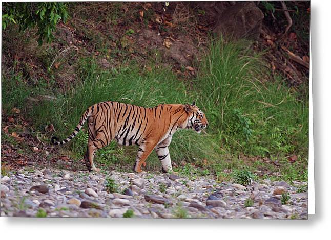 Royal Bengal Tiger On The Riverbed Greeting Card by Jagdeep Rajput