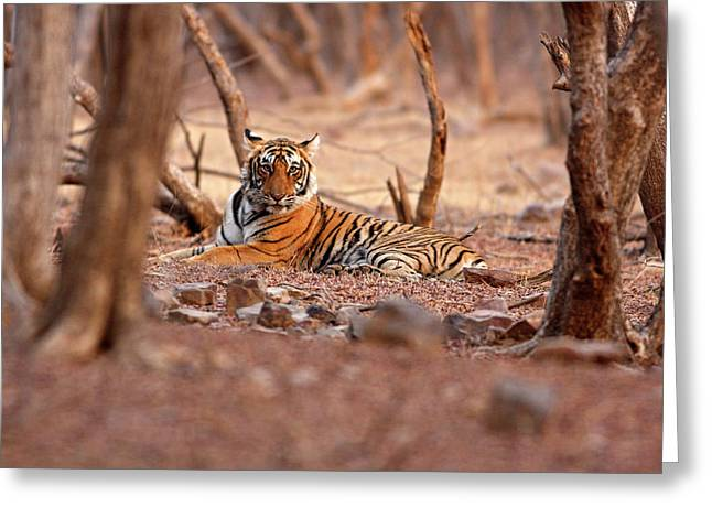 Royal Bengal Tiger, Ranthambhor Greeting Card by Jagdeep Rajput