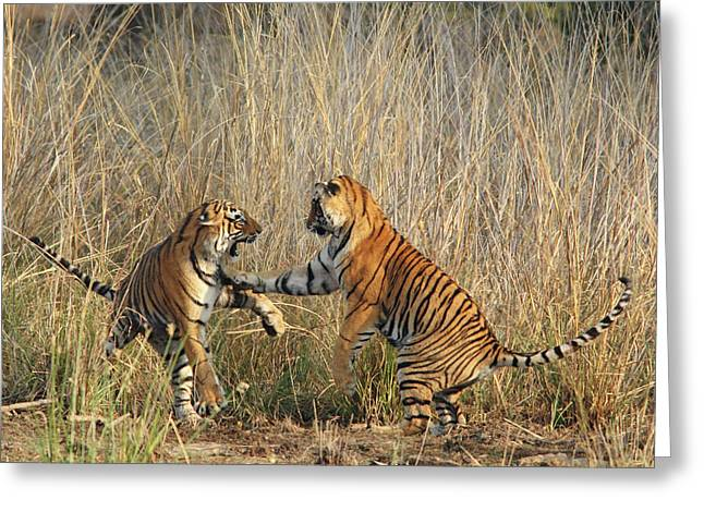 Royal Bengal Tigers Play-fighting Greeting Card by Jagdeep Rajput