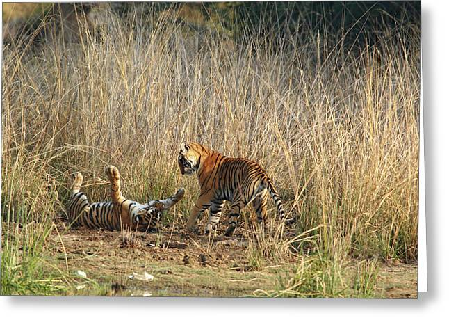 Royal Bengal Tigers Playing Greeting Card by Jagdeep Rajput