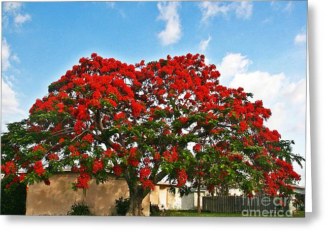 Royal Panciana Tree Greeting Card by Joan McArthur