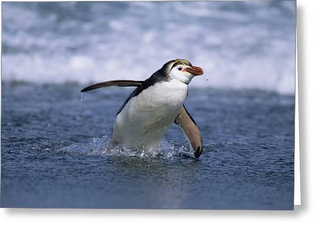 Royal Penguin Coming Ashore Macquarie Greeting Card by Konrad Wothe