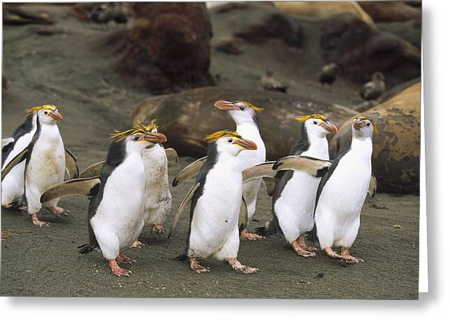 Royal Penguin Group On Beach Macquarie Greeting Card by Konrad Wothe