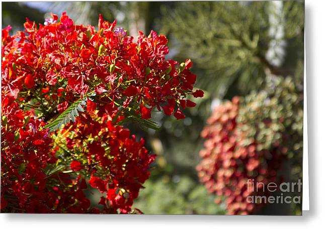 Royal Poinciana - Flamboyant - Delonix Regia - Honokohau Maui Hawaii Greeting Card