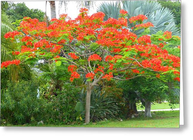 Royal Poinciana Greeting Card by Kay Gilley