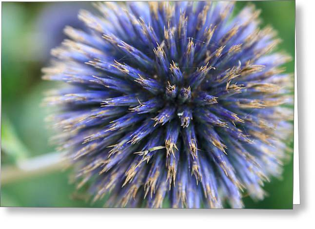 Royal Purple Scottish Thistle Greeting Card