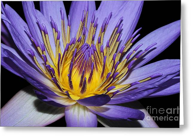 Royal Purple Water Lily #5 Greeting Card by Judy Whitton