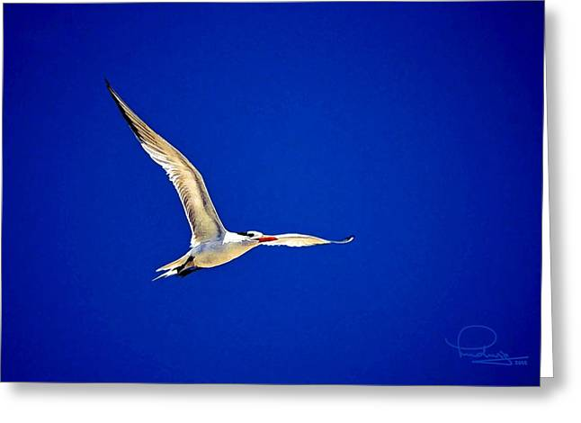 Royal Tern 2 Greeting Card