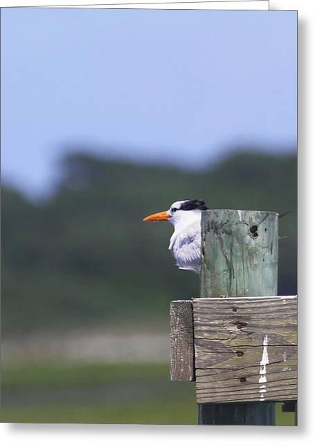 Royal Tern Greeting Card