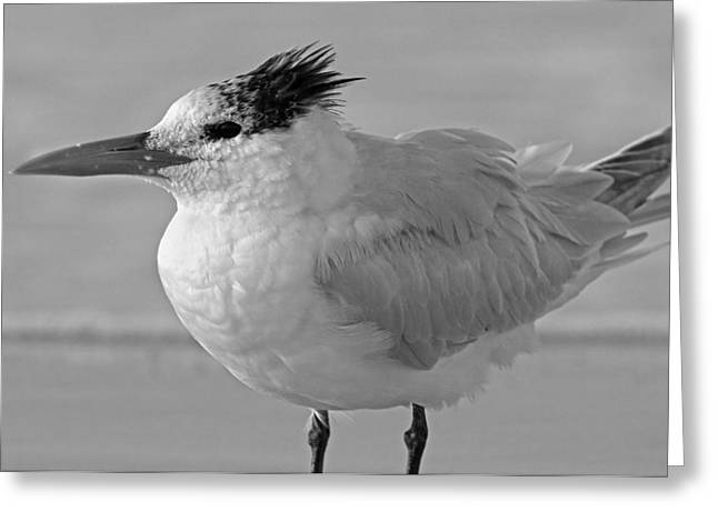 Royal Tern On Siesta Key Greeting Card