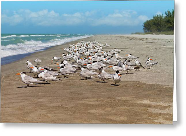 Royal Terns On The Beach Greeting Card by Kim Hojnacki