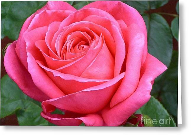 Royale Magenta Rose Greeting Card