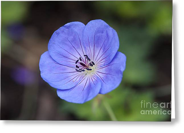 Rozanne Geranium Greeting Card