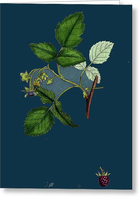 Rubus Idaeus Raspberry Greeting Card by English School