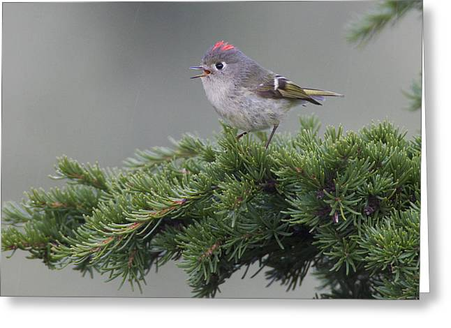 Ruby-crowned Kinglet Perched On A Tree Greeting Card