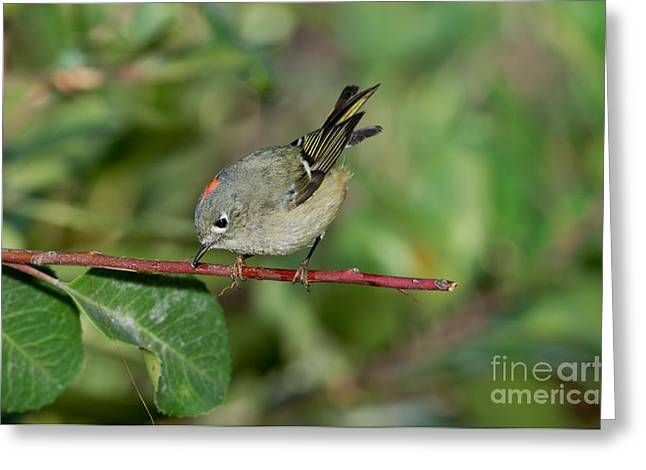 Ruby-crowned Kinglet Showing Crown Greeting Card