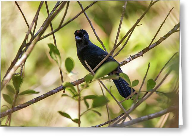 Ruby-crowned Tanager Tachyphonus Greeting Card