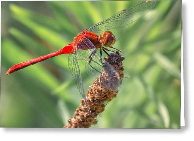Ruby Meadowhawk Dragonfly Greeting Card