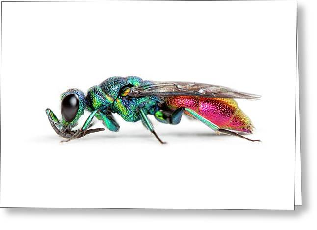 Ruby-tailed Wasp Greeting Card by Alex Hyde
