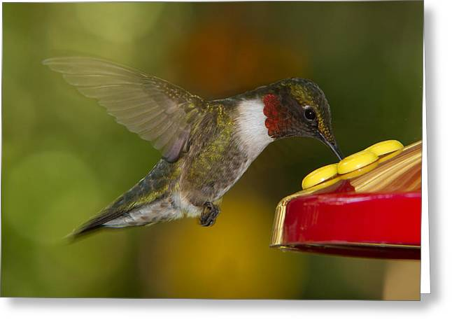 Ruby-throat Hummer Sipping Greeting Card