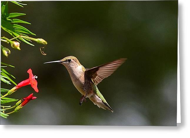 Ruby Throat Hummingbird Greeting Card by Kathy Eickenberg