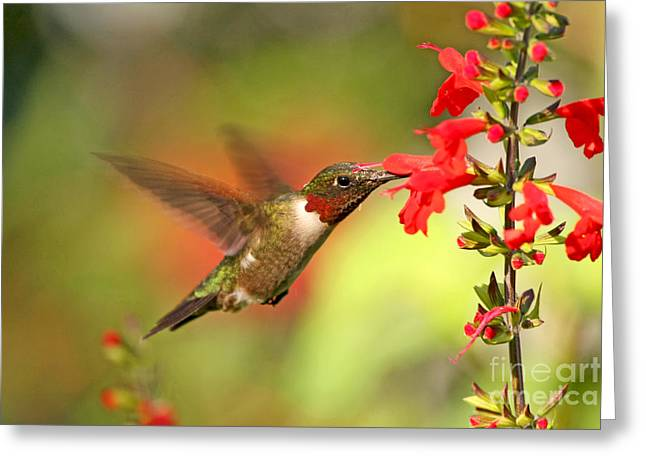 Ruby Throat Hummingbird Photo Greeting Card