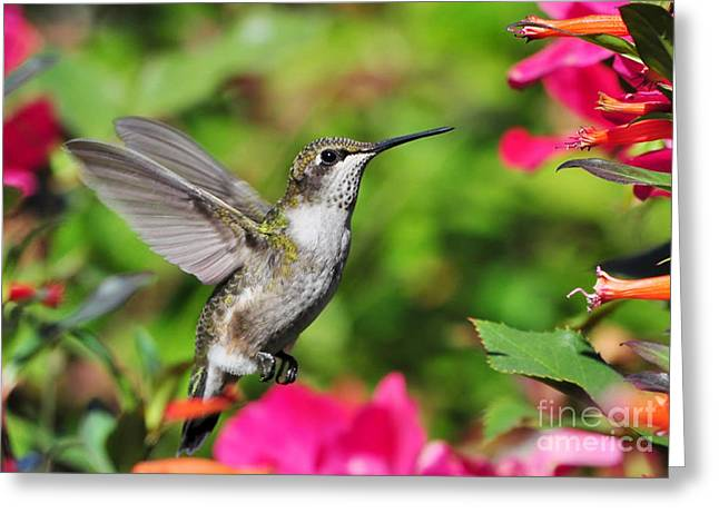 Greeting Card featuring the photograph Ruby Throated Humingbird by Kathy Baccari