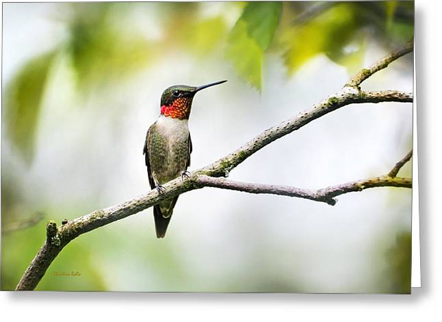 Ruby Throated Hummingbird Greeting Card by Christina Rollo